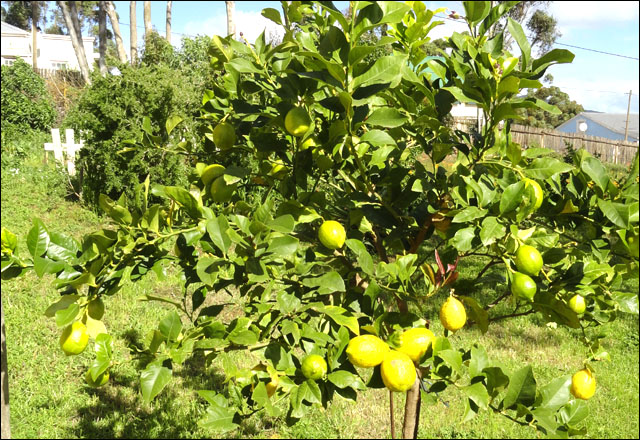 Gumtree Cottage lemons